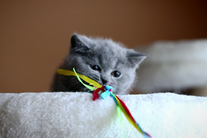Kittens British Shorthair Playing Blue - 3