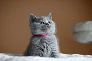Kittens British Shorthair Young - 30