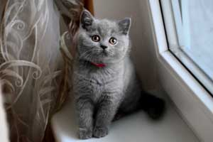 Kittens British Shorthair Pedigree - 29