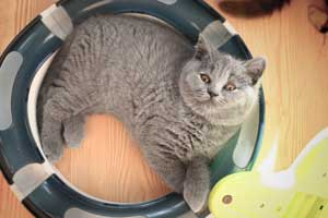 Kittens British Shorthair Pedigree - 5
