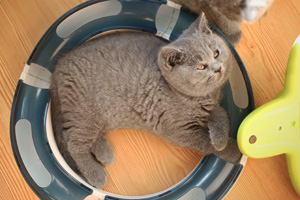 Kittens British Shorthair Pedigree - 4