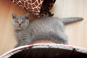 Kittens British Shorthair Pedigree - 1