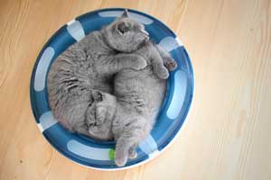 Kittens British Shorthair Cute Kitty - 25
