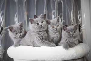 Kittens Blue British Shorthair - 21