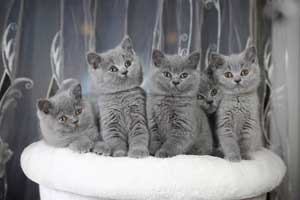 Kittens Blue British Shorthair - 20