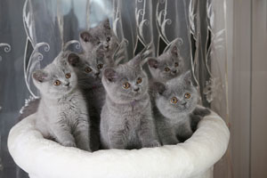 Kittens British Shorthair Blue Kitties - 19