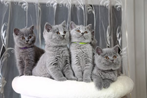 Kittens British Shorthair Blue Kitties - 18