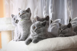 Kittens British Shorthair Blue Kitties - 17