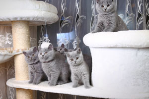 Kittens British Shorthair Blue Kitties - 16