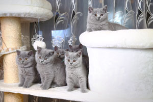 Kittens British Shorthair Blue Kitties - 15