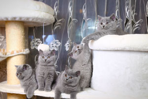 Kittens British Shorthair Blue Kitties - 14