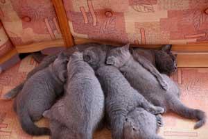 Kittens Blue British Shorthair Kitties With Mother - 13