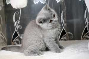 Kittens Blue British Shorthair Girl With Very Bright Coat - 11