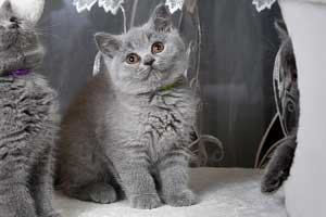 Kittens Blue British Shorthair Girl With Very Bright Coat - 10