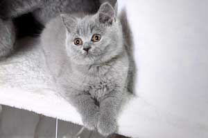 Kittens Blue British Shorthair Girl With Very Bright Coat - 9