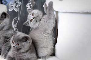 Kittens Blue British Shorthair Girl With Very Bright Coat - 8