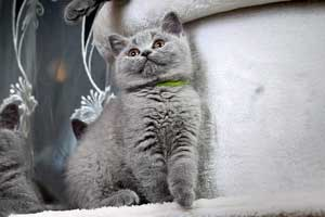 Kittens Blue British Shorthair Girl With Very Bright Coat - 7