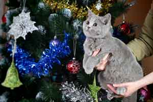 Kittens Blue British Shorthair - 3