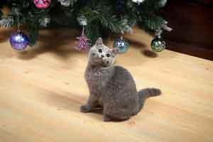Kittens Melynas Britu Trumpaplaukis Kaciukas - 1
