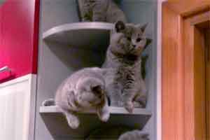 Kittens Bsh Kitties Sitting Together - 2