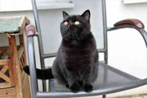 Kittens British Shorthair Black Dame - 10