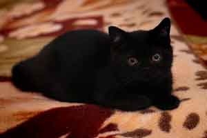 Kittens British Shorthair Black - 7