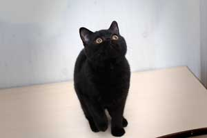 Kittens Black British Kitty - 3