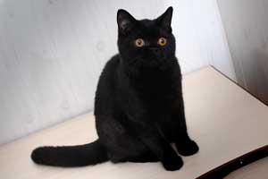 Britų Trumpaplaukiai - Grynaveislės Katės