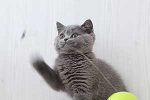 Video  British Shorthair  Kitten - 5