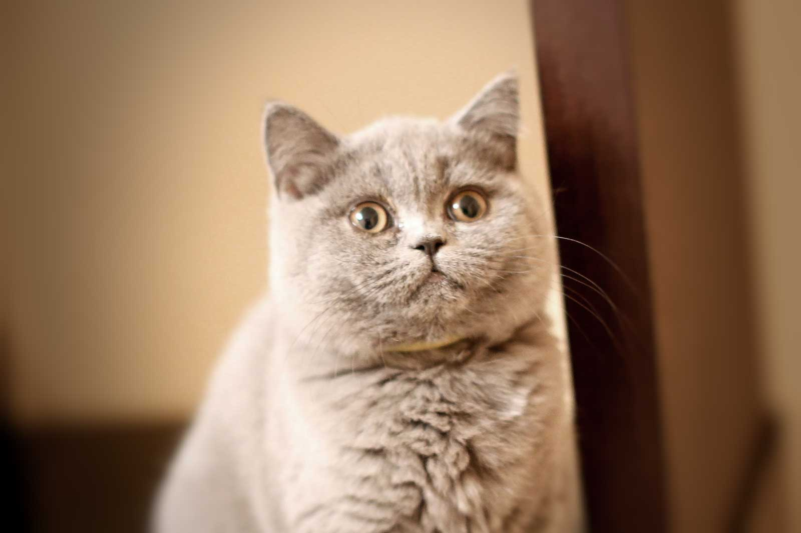 Video  British Shorthair  Kitten - 6