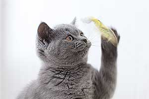 Video  British Shorthair  Kitten - 8