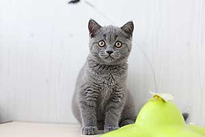 Video  British Shorthair  Kitten - GWYNDOLIN