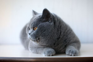 Kittens British - 51