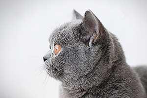 lelijiniai ir mėlyni kačiukai