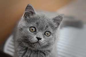 grynaveislės katės