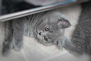 Kittens British Shorthair Solid - 2