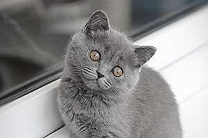 Kittens Britu Trumpaplauke Katyte - 5