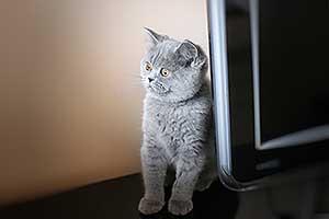 Kittens Mielas Katinukas Pilkas - 27