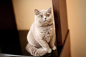Britų Trumpaplaukiai - Kačiukai Parduodu