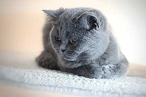 mėlynos katės