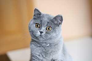 Kittens Blue British - 19