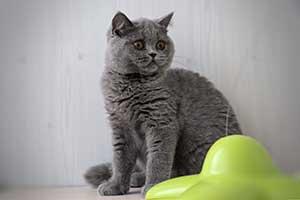 Kittens Kaciukas Zaidzia - 17