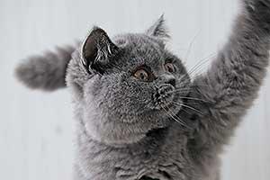 kačiukai britukai