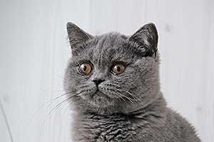 lelijiniai kačiukai pardavimui