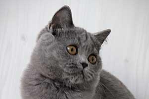 mėlyni kačiukai