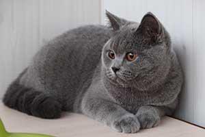 Kittens Melyna Britu Mergaite - 1