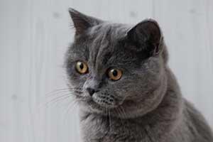 Kittens Bri Puchlaya Koshka - 1