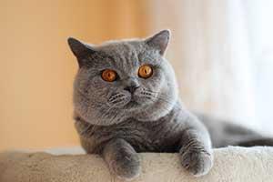 Britų Trumpaplaukiai - Mėlyni Kačiukai Su Dokumentais