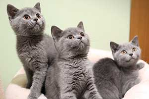 Kittens Bsh Three Blue - 5