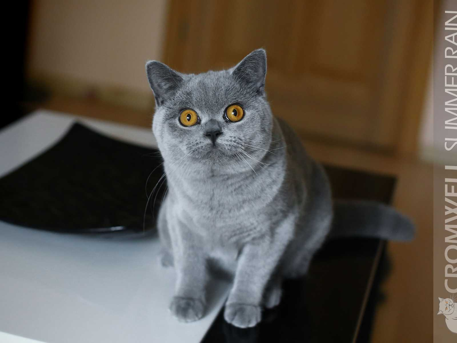 New British Shorthair boy - AUS*Cromwell Summer Rain